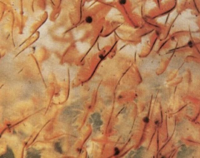 Ovos de Artemia Salina